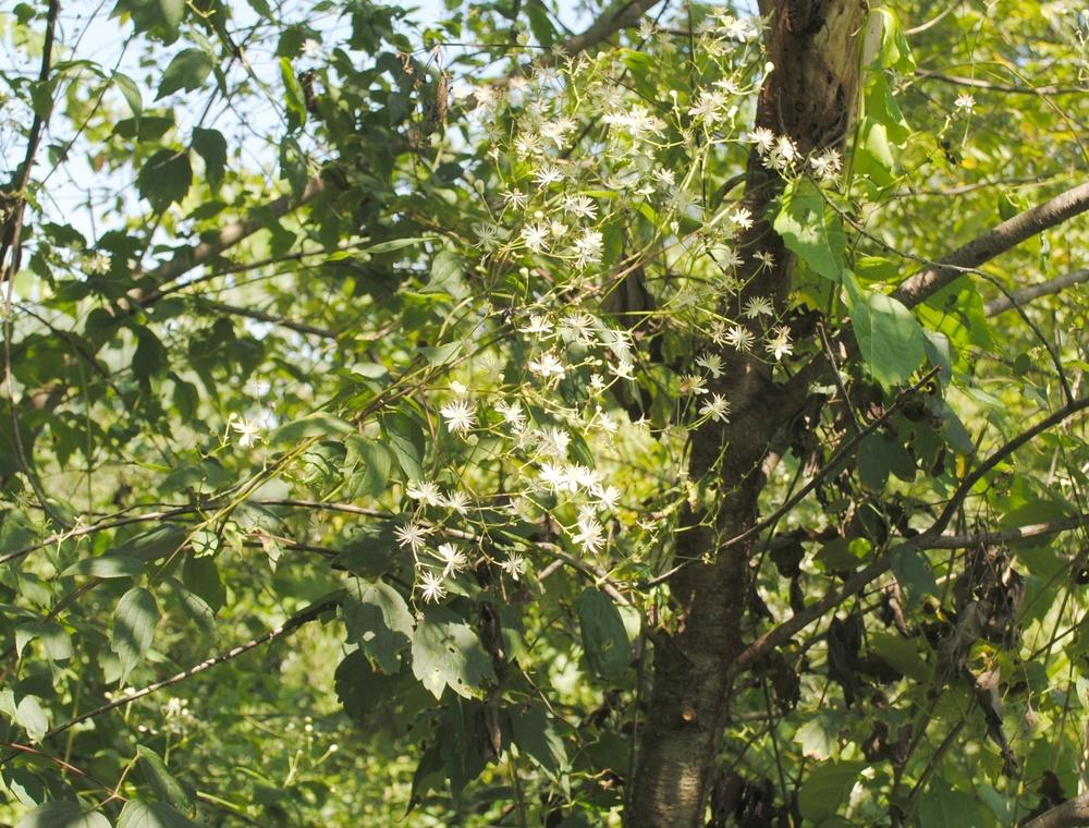 Photo of American Virgin's Bower (Clematis virginiana) uploaded by ILPARW