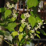 Location: Downingtown, PennsylvaniaDate: 2014-08-02white flowers and leaves