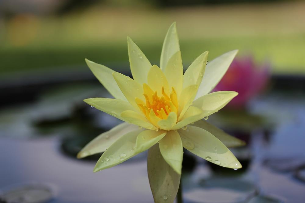Photo of Hardy Water Lily (Nymphaea 'Marliacea Chromatella') uploaded by Lucichar