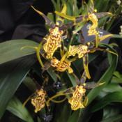 Location: Susquehanna Orchid Society Show and Sale, Hershey Gardens Conservatory, Hershey, Pennsylvania USADate: 2018-02-03