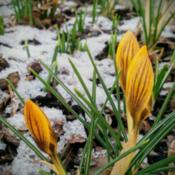 Location: BudapestDate: 2018-02-04Snow Crocus