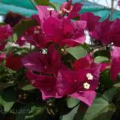 Location: Plymouth Nursery, Plymouth, MIDate: 2009-05-22