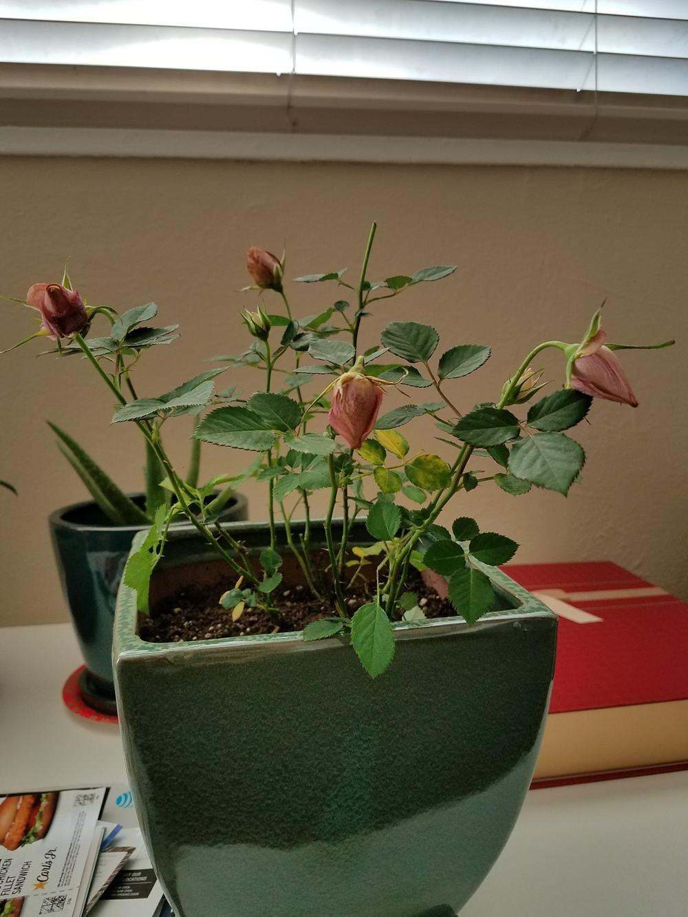 Roses forum: Help! My boyfriend gave me miniature roses and they're