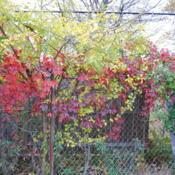 Location: West Chester, PennsylvaniaDate: 2010-10-25vine on chain link fence in red fall color