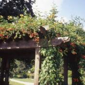 Location: Philadelphia, PennsylvaniaDate: July of 2003vine on trellis