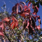 Location: Glen Ellyn, IllinoisDate: October in 1980'sred fall color of vine on shrubs