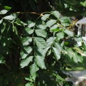 Location: Downingtown, PennsylvaniaDate: 2011-07-17summer compound leaves