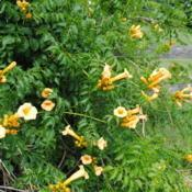 Location: Newtown Square, PennsylvaniaDate: 2011-06-24yellow flowers and foliage