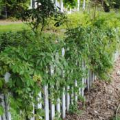 Location: West Chester, PennsylvaniaDate: 2014-05-12vine on fence