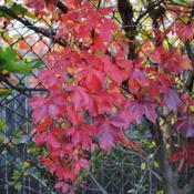 Location: West Chester, PennsylvaniaDate: 2010-10-25red fall color of vine on chain link fence