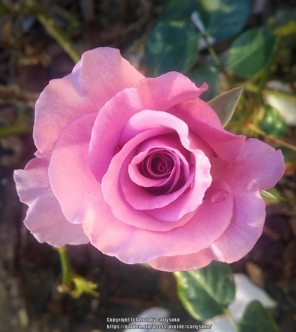 Photo of Rose (Rosa 'Angel Face') uploaded by carlysuko