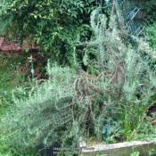 Location: In my garden, Falls Church, VADate: 2017-05-305 to 6 year old woody plant