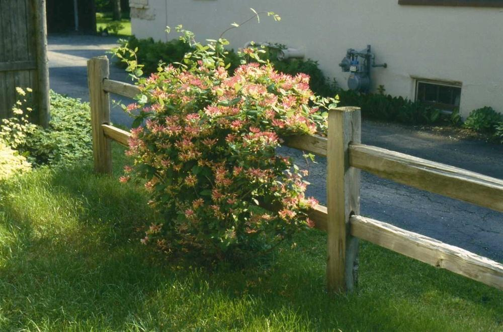 Photo of Honeysuckle (Lonicera 'Gold Flame') uploaded by ILPARW