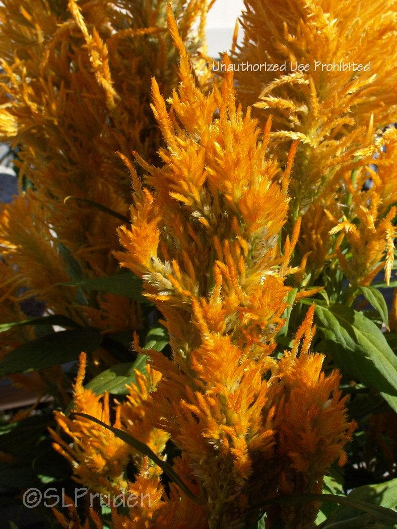 Photo of Cockscomb (Celosia argentea 'Fresh Look Gold') uploaded by DaylilySLP