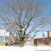 Location: Downingtown, PennsylvaniaDate: 2011-01-31tree in winter