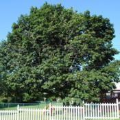 Location: Downingtown, PennsylvaniaDate: 2010-07-26mature tree in summer