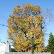 Location: Downingtown, PennsylvaniaDate: 2011-11-12mature tree in fall color