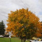 Location: Downingtown, PennsylvaniaDate: 2015-10-29maturing tree with fall color