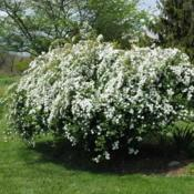 Location: Downingtown, PennsylvaniaDate: 2012-04-27shrub in bloom