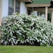 Location: Downingtown, PennsylvaniaDate: 2011-05-08shrub in bloom