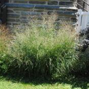Location: Wayne, PennsylvaniaDate: 2014-09-07a mature clump
