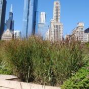 Location: the Lurie Garden in Chicago, IllinoisDate: 2010-08-16three clumps together