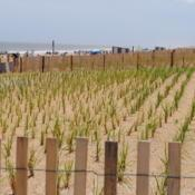 Location: Rehoboth Beach, DelawareDate: 2017-05-25new planting of grass within fencing