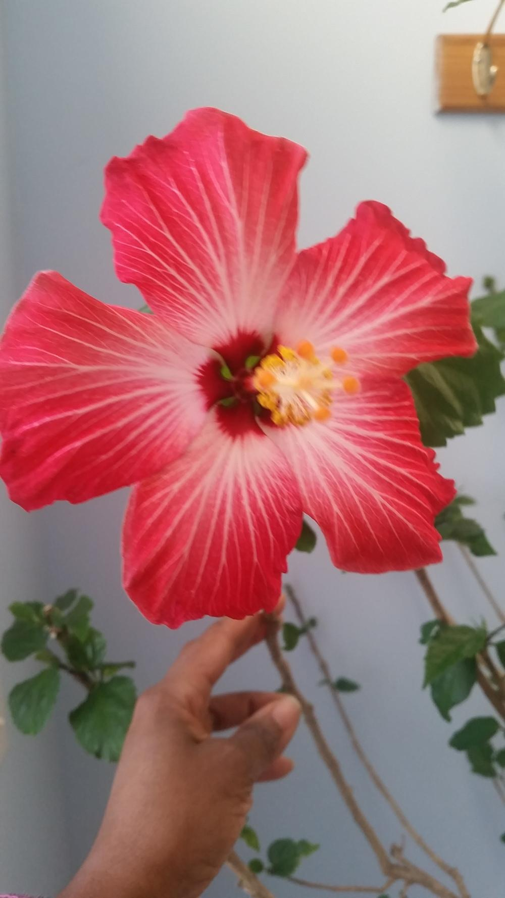 Winter Care For Houseplants Winter Hibiscus Thrills Gardenorg
