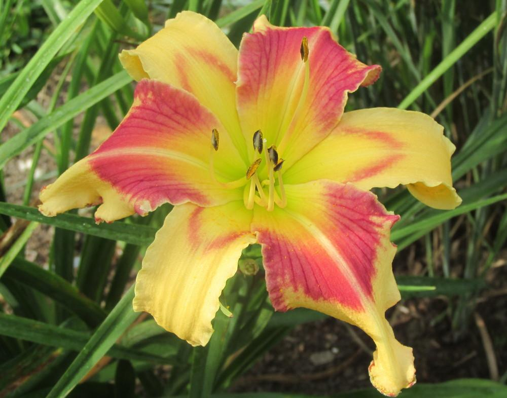 Photo of Daylily (Hemerocallis 'Anna Banana') uploaded by justroadlil