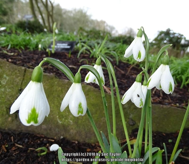 Photo of Snowdrop (Galanthus 'Trumps') uploaded by kniphofia