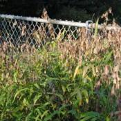 Location: Downingtown, PennsylvaniaDate: 2011-10-16grass with tan seedheads