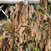 Location: Downingtown, PennsylvaniaDate: 2011-10-16close-up of seedheads