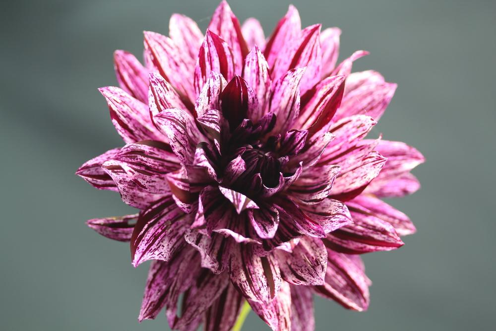 Photo of Dahlia 'Hollyhill Bewitched' uploaded by Lucichar