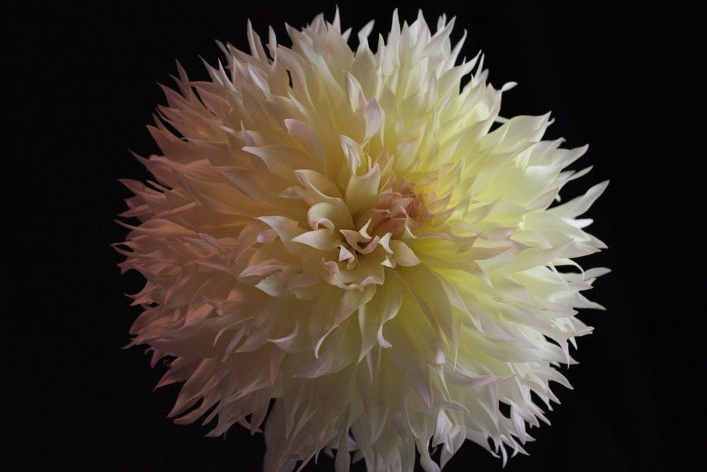 Photo of Dahlia 'Citron du Cap' uploaded by Lucichar