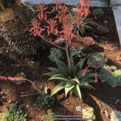 Location: Hamilton Square Garden, Historic City Cemetery, Sacramento CA.Date: 2018-02-13Needed a larger space for this clump forming Aloe in an