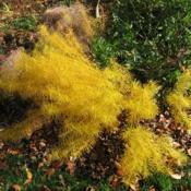 Location: West Chester, PennsylvaniaDate: 2009-11-02plant in yellow fall color
