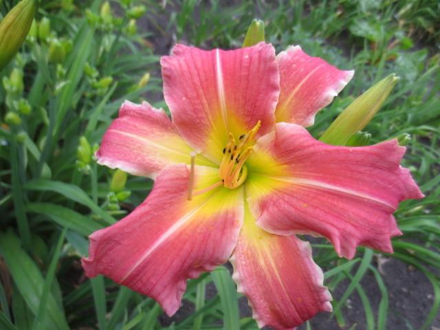 Photo of Daylily (Hemerocallis 'Lyndell's Pink Ribbons') uploaded by Caruso
