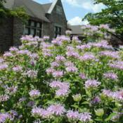 Location: Wayne, PennsylvaniaDate: 2016-07-12pale purple flowers