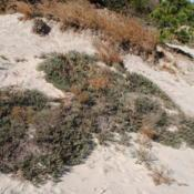 Location: Rehoboth Beach, DelawareDate: 2016-10-14plants on the dunes