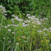 Location: near Smyrna, DelawareDate: 2014-07-29Tiger Swallowtail on flowers