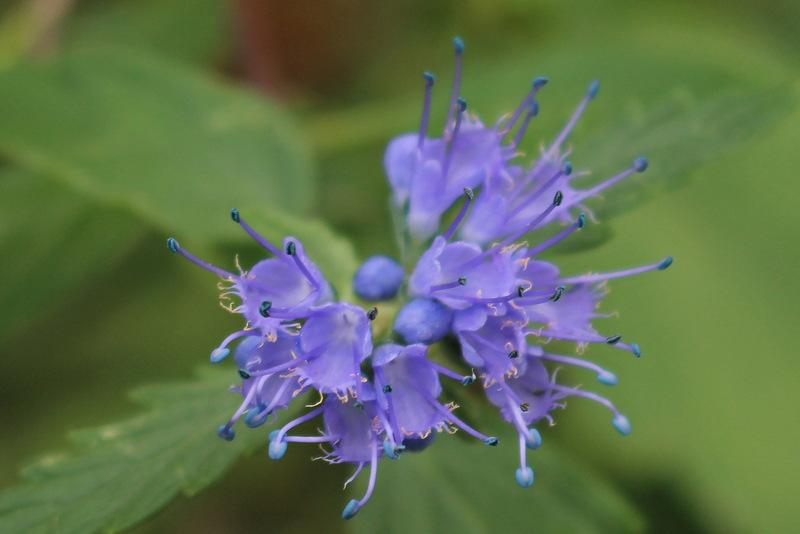 Photo of West Clandon Bluebeard (Caryopteris x clandonensis) uploaded by RuuddeBlock