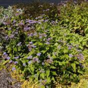 Location: Newtown Square, PennsylvaniaDate: 2013-09-19plant in bloom in garden