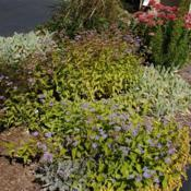 Location: Newtown Square, PennsylvaniaDate: 2013-09-19with other perennials in garden