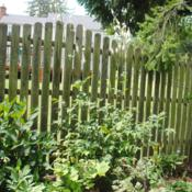Location: West Chester, PennsylvaniaDate: 2014-07-28one plant in landscape at fence