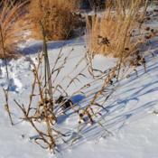Location: Downingtown, PennsylvaniaDate: 2010-12-27a plant in front in winter