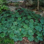 Location: Jenkins Arboretum in Berwyn, PennsylvaniaDate: 2012-06-10a patch after bloom of foliage