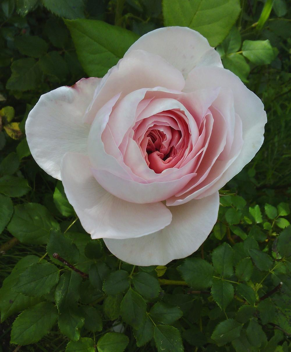 Photo of Rose (Rosa 'Queen of Sweden') uploaded by manueldalmeida