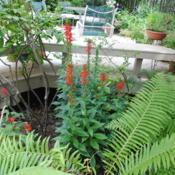 Location: West Chester, PennsylvaniaDate: 2013-08-12plant in bloom in wet garden area