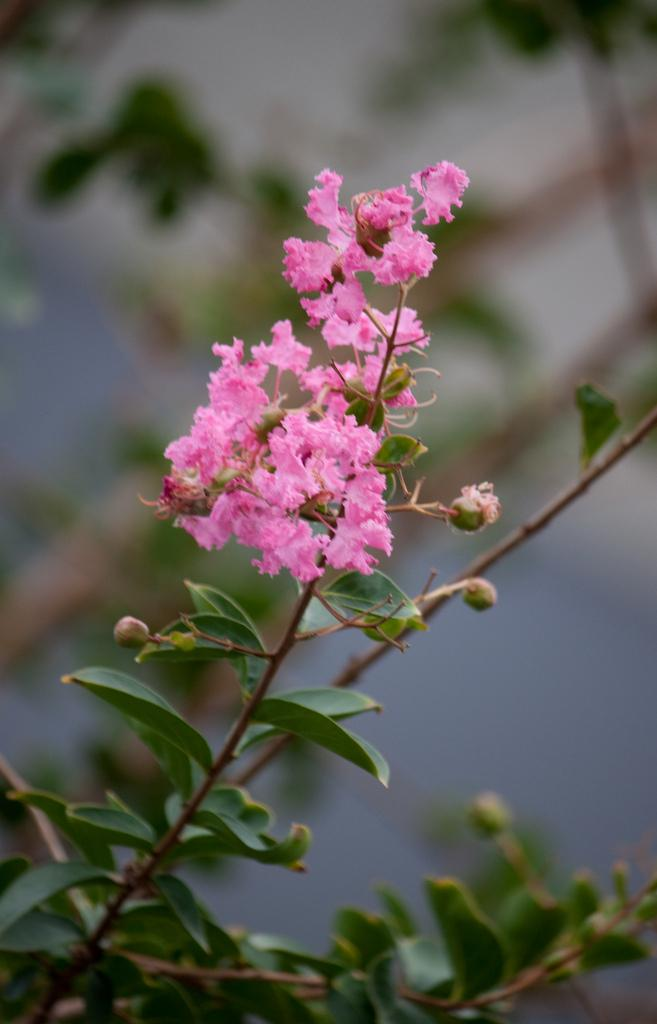 Photo of Crepe Myrtle (Lagerstroemia indica) uploaded by robertduval14