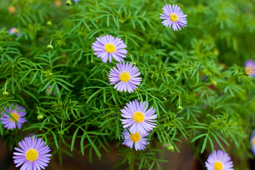 Photo of Asters (Aster) uploaded by robertduval14